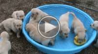 Five week old golden retriever puppies going mad when someone doesn't fill their pool with water.