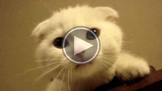 Sad Scottish Fold Kitty is scared of heights and is meowing to get down.